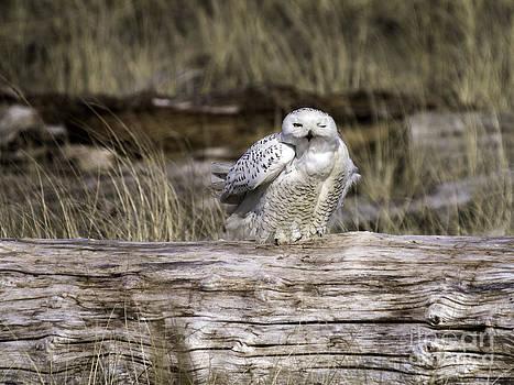 Tim Moore -  Snowy Owl Wink
