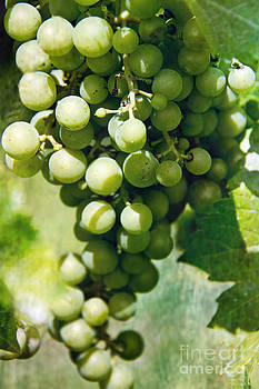 White Wine Grapes by Tom Gari Gallery-Three-Photography