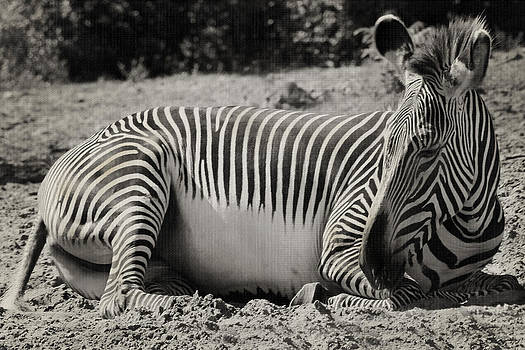 Zebra Stripes  by Sarah Boyd