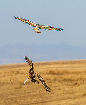 2 Raptors fighting over a trout by Brian Williamson
