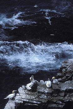 A Flock Of Northern Gannets Roost by Peter Essick