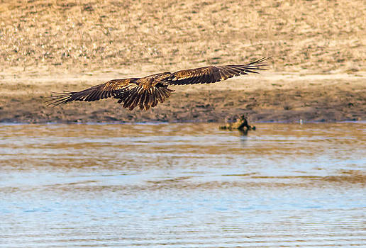 A Golden Eagle  by Brian Williamson