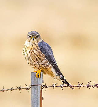A Merlin Falcon by Brian Williamson