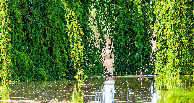A pair of Wood Ducks by Brian Williamson