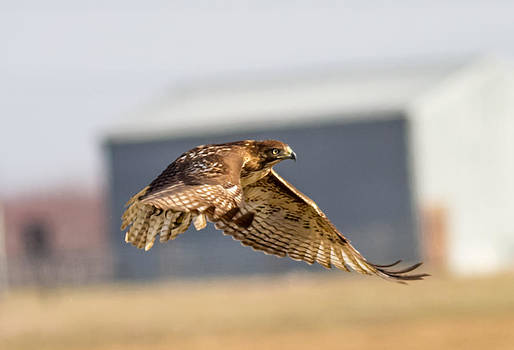A Red Tail Hawk  by Brian Williamson