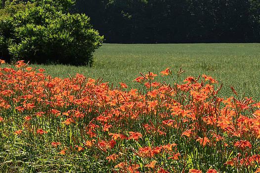 Adamsville Lilies 2 by Jim Cotton