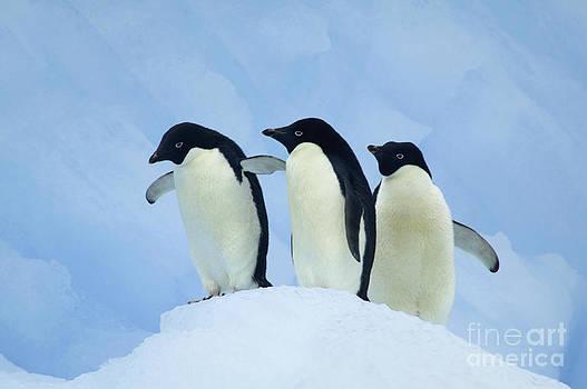 Adelie penguins on iceberg by Rosemary Calvert