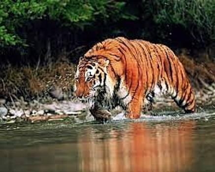 Adeyemi Fawole - Tiger by ADEYEMI FAWOLE Hamilton Adeyemi Fawole NZ