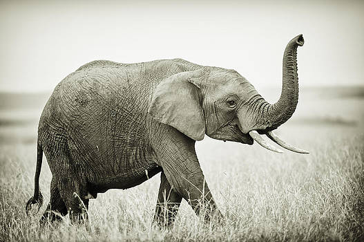 African Elephant by Thomas Chamberlin