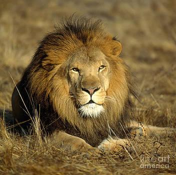 Hans Reinhard - African Lion