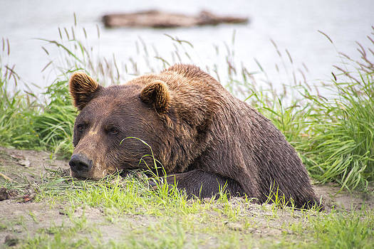 Alaskan Lazy Grizzly by Tyler Olson