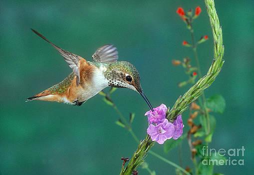Anthony Mercieca - Allens Hummingbird