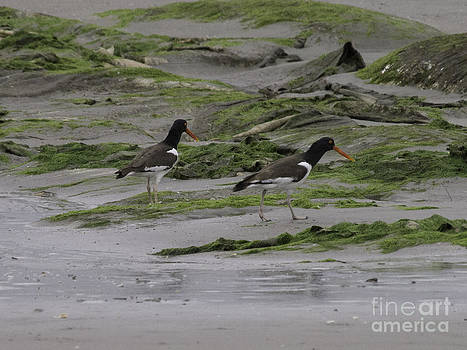 Tim Moore - American Oystercatchers