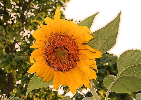 Another Sunflower by Victoria Sheldon