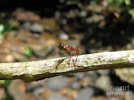 Ant on a Stick by AC Hamilton