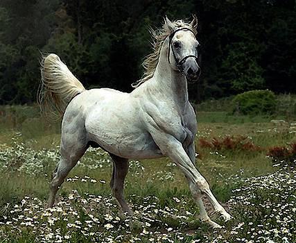 Arabian Horse Watercolor Portrait by Olde Time  Mercantile
