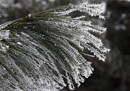 Steven Ralser - Arboretum Hoar Frost