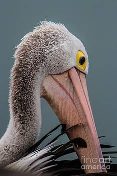 Australian pelican portrait by Gabor Pozsgai