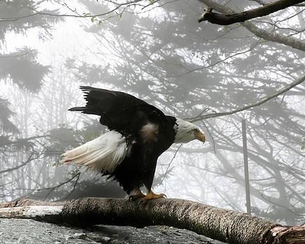Mary Almond - Bald Eagle