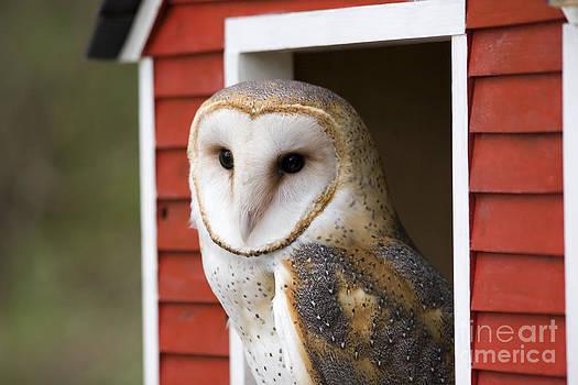 Jill Lang - Barn Owl
