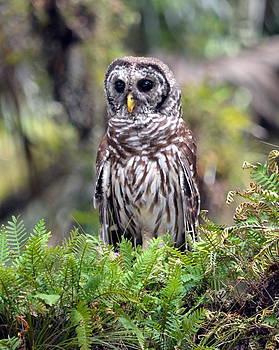 Barred Owl by Diana Berkofsky