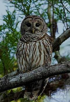 Barred Owl by Diane Kurtz