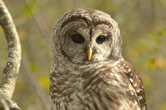 Barred Owl by Nancy Landry