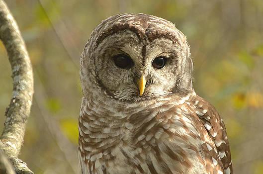 Barred Owl by Nancy Landry