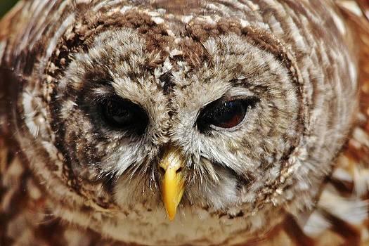 Paulette Thomas - Barred Owl