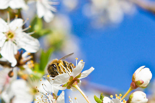 Bee On Blossom by Shane Gottlieb