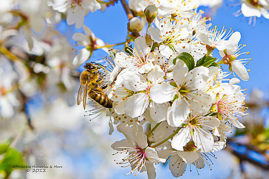 Bee On Cherry Blossoms by Shane Gottlieb