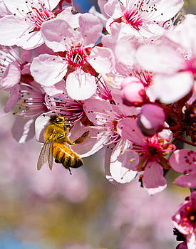 Bee On Pink Blossoms by Shane Gottlieb