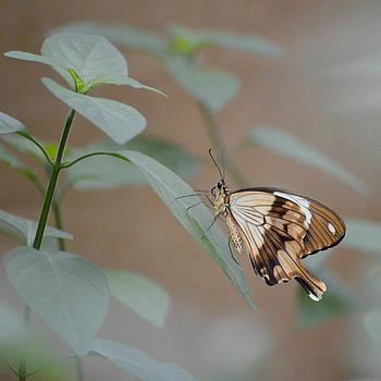 Beige on Beige Butterfly by Merridy Jeffery