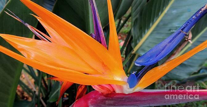 Bird of Paradise by Kristine Merc