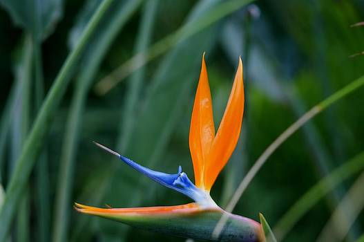 Bird of Paradise by Valerie Beasley