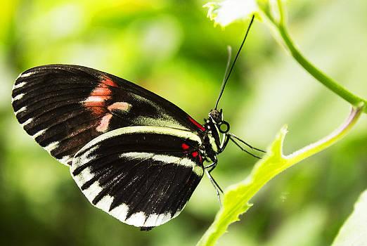 Black butterfly by Martin Hristov