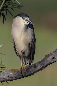 Black-crowned Night Heron by Don Baccus