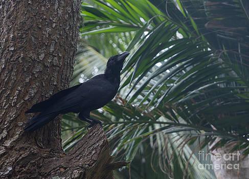 Black raven by Christina Rahm