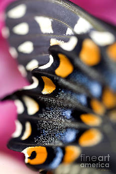 Black Swallowtail Butterfly Wings Papilio polyxenes by Iris Richardson