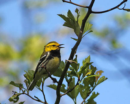 Black-throated Green Warbler by Brian Magnier