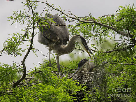 Tim Moore - Blue Heron Nest