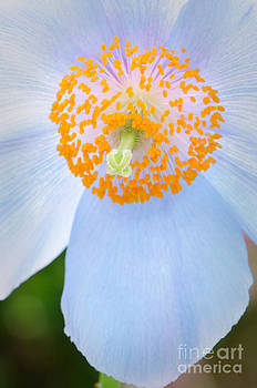 Oscar Gutierrez - Blue-poppy