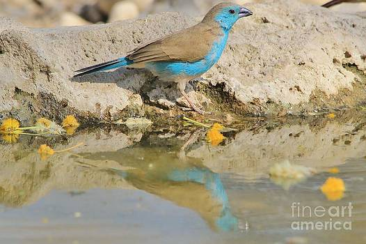 Hermanus A Alberts - Blue Waxbill Reflection