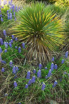 Robert Anschutz - Blue Yucca