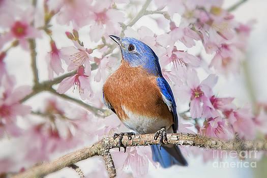 Bluebird in Spring by Bonnie Barry
