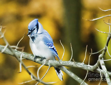 Bluejay by Pat Carosone