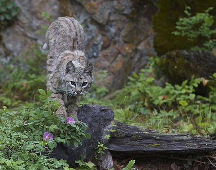 Dee Carpenter - Bobcat