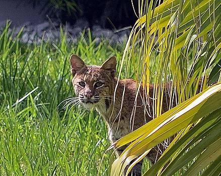 Bobcat by Diana Berkofsky