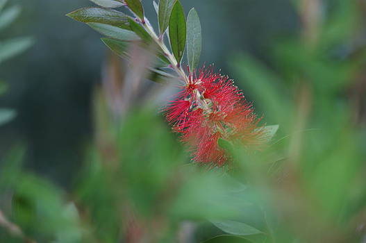 Bottlebrush by Valerie Beasley