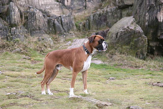 Mark Severn - boxer dog